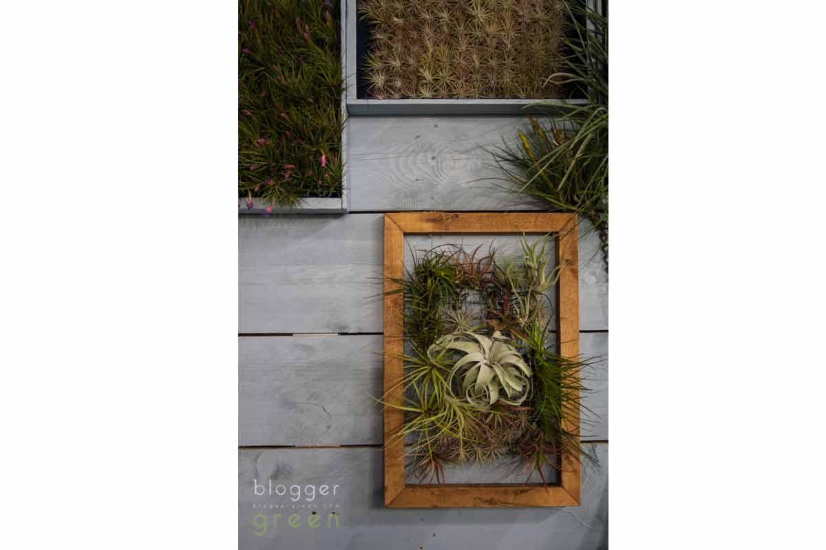 Tillandsie: le piante decorative e salutari che vivono senza terra