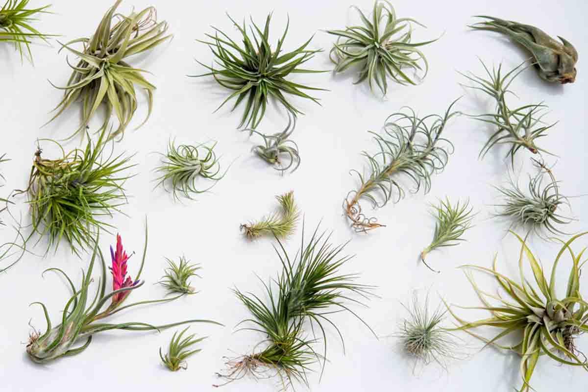 Piante Eleganti Da Appartamento tillandsie: le piante decorative e salutari che vivono senza